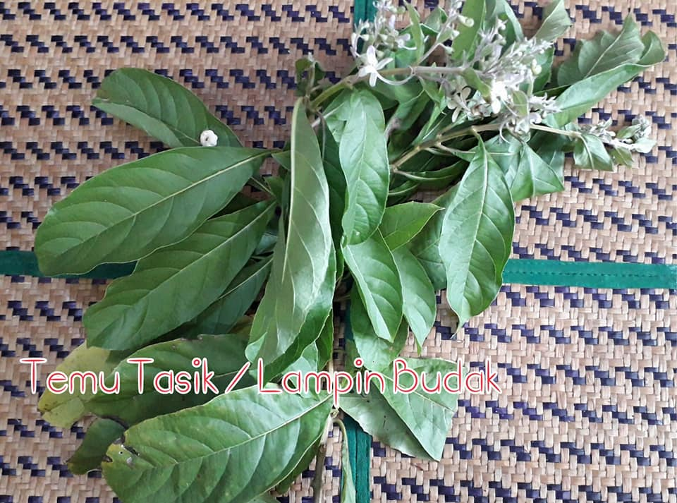 11 Daun Air Mandian Herba